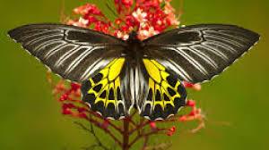 Golden Birdwing' dethrones 'Southern Birdwing' to become the ...