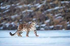 Uttarakhand To Set Up Snow Leopard Conservation Centre