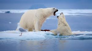 Study: Most polar bears extinct in 2100 due to climate change NOW ...